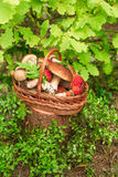 Mushrooms in forest. Card on autumn or summertime. Forest harvest. Boletus, aspen, chanterelles, leaves, buds, berries, Top view. Mushrooms in forest. Card on stock image