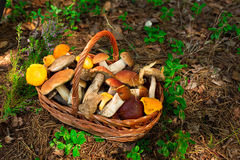 Mushrooms in forest. Card on autumn or summertime. Forest harvest. Boletus, aspen, chanterelles, leaves, buds, berries, Top view. Mushrooms in forest. Card on stock photos