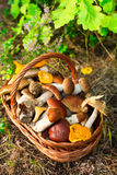 Mushrooms in forest. Card on autumn or summertime. Forest harvest. Boletus, aspen, chanterelles, leaves, buds, berries, Top view Stock Photo