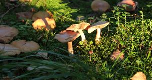 Mushrooms in the forest during the daytime.  stock video