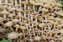 Mushrooms, forest, eukaryotic organisms, food, nature, wildlife. Mycology, mushrooms, forest, eukaryotic organisms, food, nature, wildlife, Taxonomy, botany stock photo