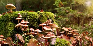 Mushrooms forest gather boletus chanterelle moss magical. Small mushrooms in autum forest on ground stock photo