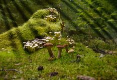 Mushrooms forest gather boletus chanterelle moss magical. Small mushrooms in autum forest on ground royalty free stock image