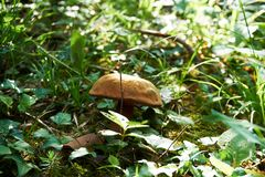 Mushrooms in forest grass. Autumn forest mushroom view. Mushrooms in autumn forest royalty free stock photography