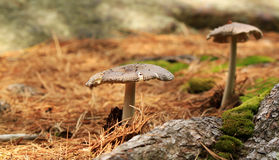 Mushrooms in a forest. Grisette (Amanita Vaginata) Royalty Free Stock Photography