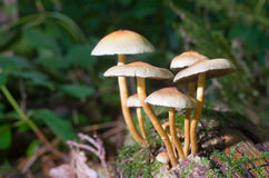 Mushrooms in forest Royalty Free Stock Photography
