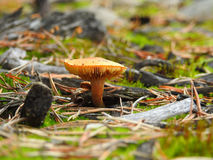 Mushrooms in the forest Royalty Free Stock Image