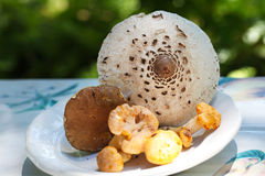Mushrooms from the forest- parasol, ceps and chant Royalty Free Stock Image