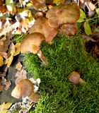 Mushrooms in the forest Royalty Free Stock Photo