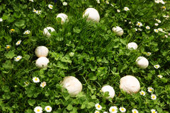 Mushrooms form a witch ring Stock Images
