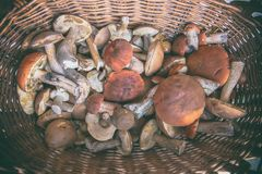 Mushrooms freshly picked in the forest in a basket. Forest mushrooms freshly picked in the forest in a basket royalty free stock photography