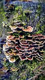 Mushrooms. Fugies& x27; on a stump Stock Photography