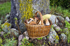 Mushrooms fungi in old wicker basket Stock Image