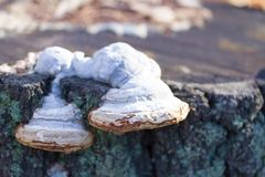 mushrooms or fungus on a tree royalty free stock image