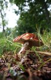 Mushrooms in the grass. Wild growing mushrooms in the grass Royalty Free Stock Photos