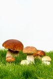 Mushrooms  in grass. And on white background Stock Photo