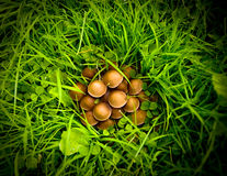 Mushrooms in the grass. A cluster of mushrooms growing in the grass Royalty Free Stock Images