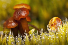 Mushrooms and grass in dew Royalty Free Stock Image