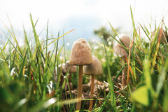 Mushrooms in grass with dew closeup Stock Photos