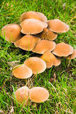 Mushrooms in grass in fall Stock Image