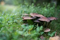 Mushrooms in the grass royalty free stock photography