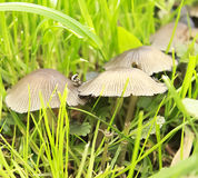 Mushrooms in grass Royalty Free Stock Image