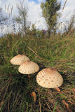 Mushrooms in grass Royalty Free Stock Photo