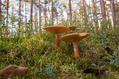 Mushrooms in green forest Royalty Free Stock Images