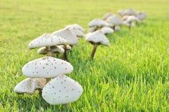 Mushrooms in green glass field Stock Photos