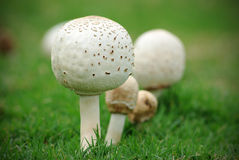 Mushrooms on Green Grass. Wild button mushrooms growing in green grass Stock Image