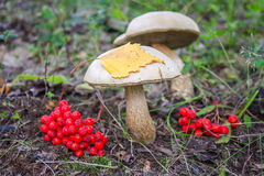 Mushrooms grow in the forest Royalty Free Stock Photo