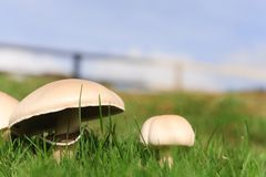 Mushrooms growing Stock Images