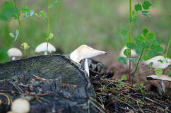 Mushrooms growing around tree stump. Stock Image
