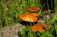 Mushrooms growing on dead cork tree wood - Gymnopilus suberis Royalty Free Stock Photos