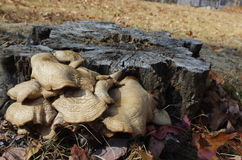 Mushrooms growing from a dead tree stump. A group of mushrooms growing on the side of an old dead tree stump in winter Stock Photography