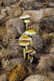 Mushrooms growing on elephant dung, Sumatra, Indonesia Royalty Free Stock Photography