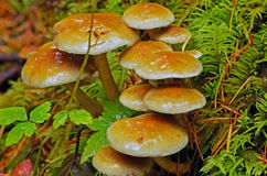 Mushrooms. Growing on a forest bed Royalty Free Stock Photos