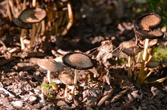 Mushrooms growing. On the forest floor Royalty Free Stock Photo