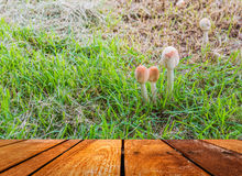 Mushrooms Growing in Grass Royalty Free Stock Photos