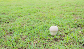 Mushrooms Growing in Grass Stock Photo