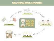 Mushrooms growing infographic Royalty Free Stock Photo