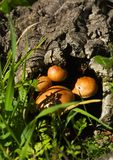 Mushrooms growing from inside of a dead cork tree log - Gymnopilus suberis Stock Images