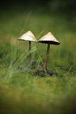 Mushrooms growing in moss Royalty Free Stock Photos