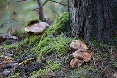 Mushrooms growing near a moss tree stock image