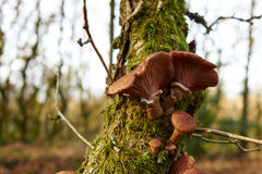 Mushrooms growing on old oak tree Stock Photography