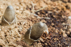 Mushrooms. Growing on old sawdust pile Royalty Free Stock Photography