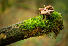 Mushrooms growing on rotten mossy branch Stock Photography