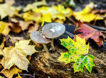 Mushrooms growing on rotten stump Royalty Free Stock Photos