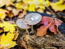 Mushrooms growing on rotten stump Stock Photos