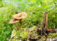 Mushrooms are growing on a stump Stock Photography